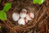 Ovenbird  - Seiurus aurocapilla (nest)