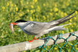 Common Tern - Sterna hirundo  (with an anchove)