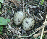 Common Tern - Sterna hirundo  (eggs)