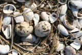 Common Tern - Sterna hirundo  (eggs blending in with shells)