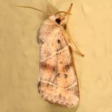 9815 -- American Dun-bar Moth -- Cosmia calami