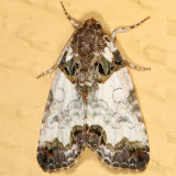 9062 -- Tufted Bird-dropping Moth -- Cerma cerintha