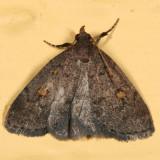 8323 - Common Idia - Idia aemula