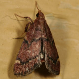 5526 - Red-shawled Moth - Hypsopygia intermedialis