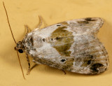 9049 - Black-dotted Maliattha - Maliattha synochitis