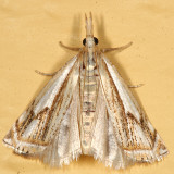 5362 - Double-banded Grass-veneer Moth - Crambus agitatellus