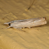 5450 - Graceful Grass-veneer - Parapediasia decorella