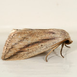 9818 -- Feeble Grass Moth -- Amolita fessa