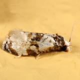 3808 - Phalonidia memoranda