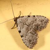 8427 - Spot-edged Dyspyralis Moth - Dyspyralis puncticosta
