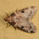 5511 - Aglossa costiferalis