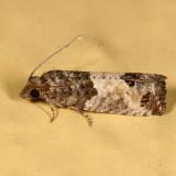 2906 - Eye-spotted Bud Moth - Spilonota ocellana