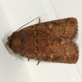 10578 - Small Brown Quaker - Pseudorthodes vecors