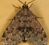 8333 - Toothed Idia - Idia denticulalis