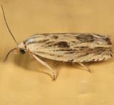 2998 -  Olivaceous Phaneta Moth - Phaneta olivaceana