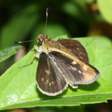 Carolina Roadside-Skipper (Amblyscirtes carolina)
