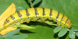 Cloudless Sulphur caterpillar (Phoebis sennae)