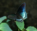 Red-Spotted Purple (Limenitis arthemis)