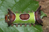 4700 - Saddleback Caterpillar - Acharia stimulea