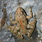Northern Cricket Frog - Acris crepitans