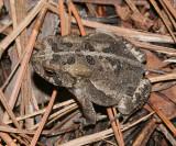 Southern Toad - Anaxyrus terrestris