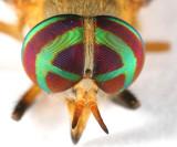 Diachlorus ferrugatus