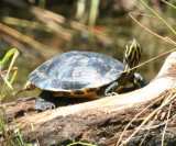 Yellow-bellied Slider - Chrysemys scripta