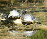 Yellow-bellied Sliders - Chrysemys scripta