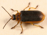 Water-lily Beetle - Galerucella nymphaeae