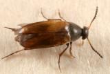 Anaspis flavipennis