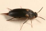 Mordellochroa scapularis