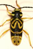 Sugar Maple Borer - Glycobius speciosus