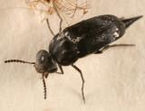 Mordella marginata