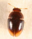 Shining Flower Beetles - Phalacridae
