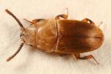 Antherophagus ochraceus