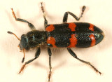 Red-blue Checkered Beetle - Trichodes nutalli