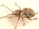 Imported Long-horned Weevil - Calomycterus setarius