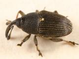 Odontocorynus scutellumalbum