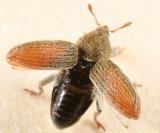 Tychius meliloti