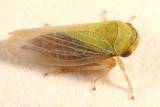 Oncopsis flavidorsum