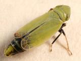 Diplocolenus - Subgenus Verdanus