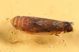 Scaphoideus bifurcatus