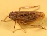 Amplicephalus osborni