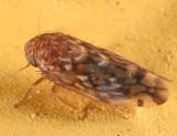 Xestocephalus similis
