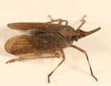 Scolops sulcipes (The Partridge Bug)