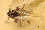 Isodelphax basivitta