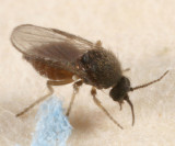 Forcipomyia eques