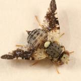 Jamesomyia geminata