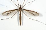 Tipula tricolor