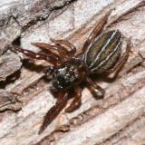 Jumping Spiders - Genus Marpissa